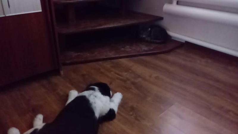 Огромный, злющий алабай рвёт на куски котяру.