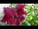 Видео про цветы львиный зев цветёт на балконе в цветочном горшке
