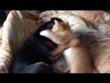 Кот против ягдтерьера