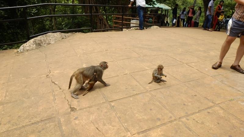 индийские обезьянки любят российскую соломку