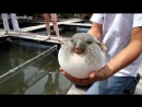 Самая ядовитая рыба в мире фугу