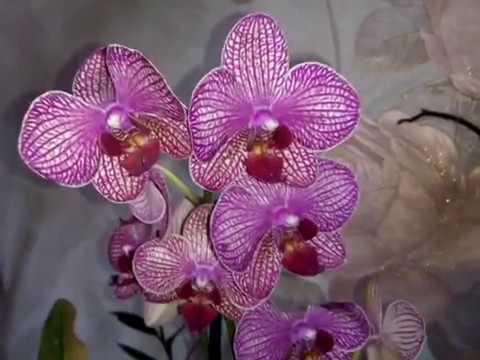 Орхидея сюрприз от Кумы Светланки и не только про орхидию