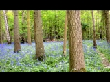 Bluebells Forest Blue Nature Tree Color Seasonal - Public Domain Video