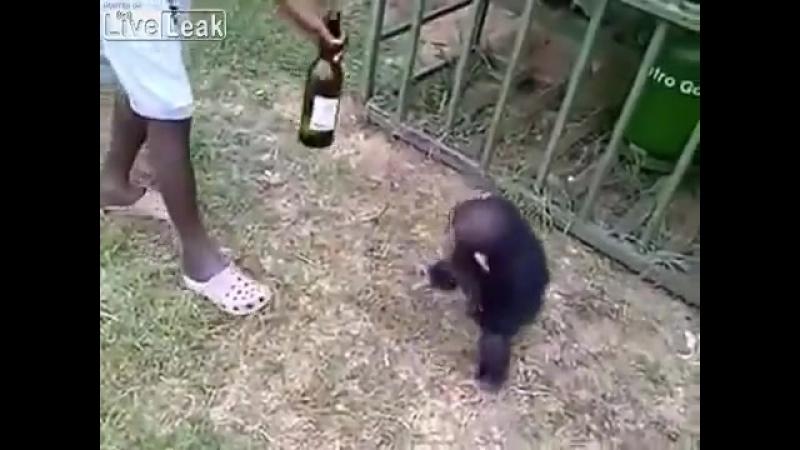 Идеальное средство спасения от жары - бутылочка холодного пивка. Это знают даже обезьяны, и доказательство тому - шимпанзе, кото