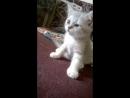 Шотландские котята 2