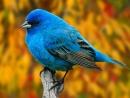 Siniy ptica ce ce ce