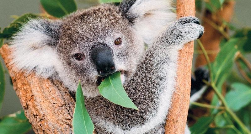 Пересадка фекалий спасет коал
