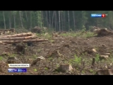 Из-за аномально жаркой весны жук-короед атаковал дачные участки - Россия 24