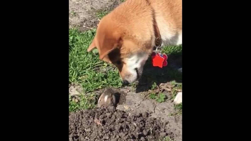 Собака знакомится с кротом