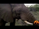 Дикий слон решил поздороваться с туристами