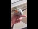 Корелла папугай жасмин❤️