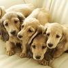 КУТЯТА.РФ - продажа щенков и собак, объявления