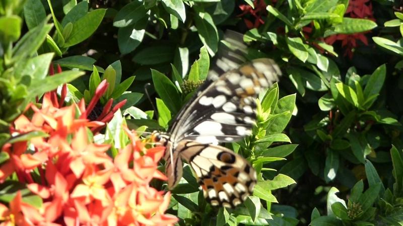 Бабочка Парусник Papilio demoleus, Паттайя