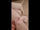 Добыча Свинка
