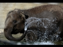 Купание слоненка в Московском зоопарке