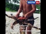 Пальмовый вор или Кокосовый краб: интересные факты