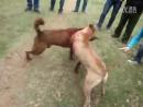 Рабочий питбуль VS Рабочий Шарпей Китай первый тест собак