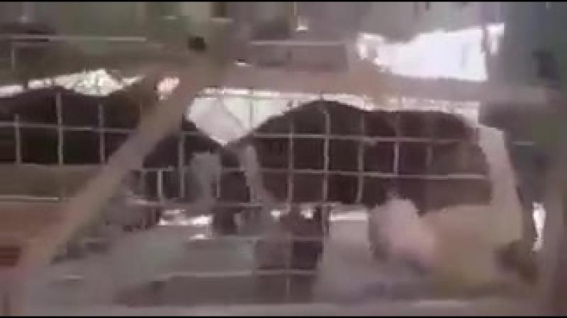Сирия Хама.Утверждают что Асадиты бросили в вольер со львами живого коня