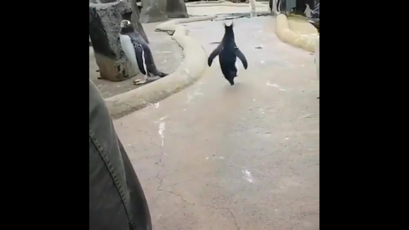 Необычный пингвин