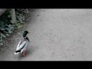Утки, гуляющие свободно по зоопарку