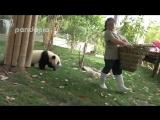 Тяжелая работа с милыми пандами