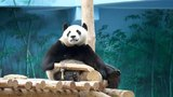 Giant pandas Chinas national treasures
