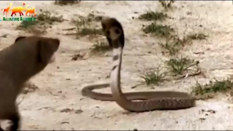 Смертельная схватка между мангустом и королевской коброй