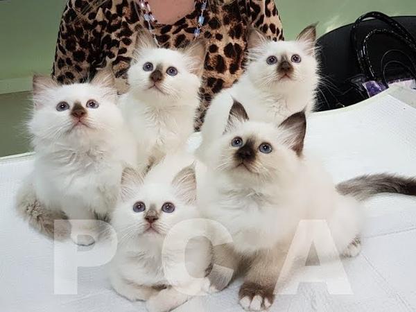 Презентация помета бирманских котят 23 06 2018г