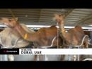 NC Верблюжье молоко - детям