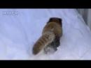 Забавные и очень милые красные панды енотомедвежата
