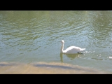 Прекрасный лебедь в Парке Горького (г. Москва, 9 мая 2018 г.)