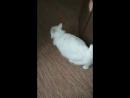бешиная кошка