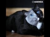 Котёнок «половинки» вырос роскошной кошкой