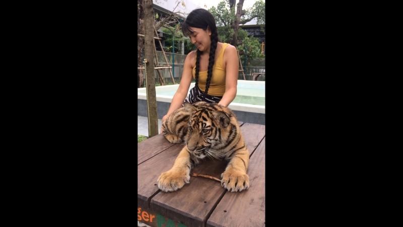 Тигр паттайя 2