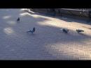 Наглый голубь на Кировке гоняет своих собратьев