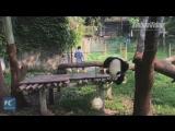 Вот что происходит, когда бамбуковый медвежонок решил стать гимнастом