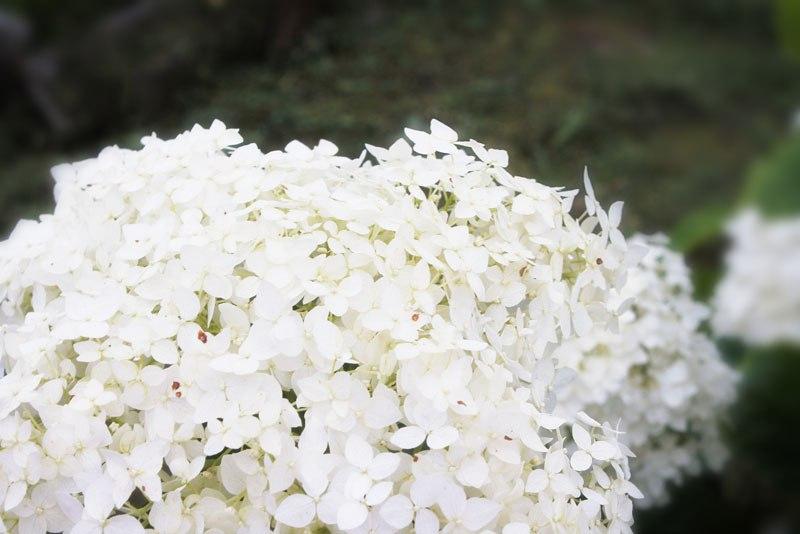 Гортензия - выращивание и уход
