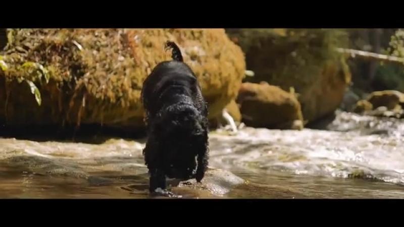 Английский кокер-спаниель очень активная собака