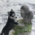 Husky Puppy Kissing His Owl Friend #coub