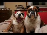 ПОПРОБУЙ НЕ ЗАСМЕЯТЬСЯ - Смешные Приколы и фейлы с Животными до слез, смешные собаки #68