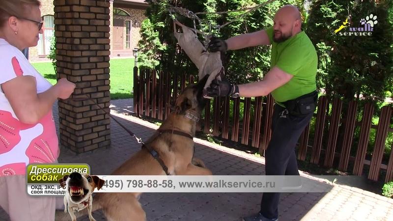 Малинуа, перехват на тренажёре, собака для охраны, дрессировка ЗКС