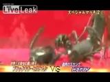 Большая черная сольпуга vs Телифон (Black Camel Spider vs Vinegaroon)