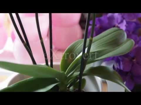 Aphrodite Orchidee