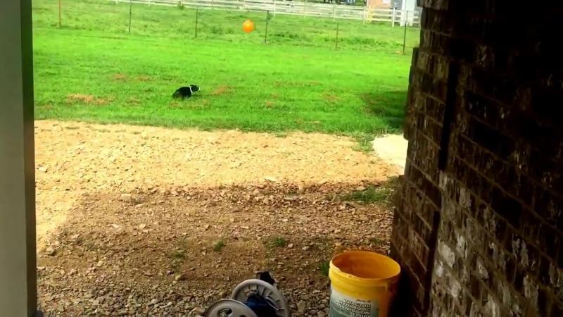 Пес играет в волейбол )