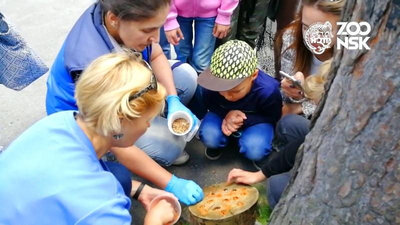 Мангусты. Показательное кормление в Новосибирском Зоопарке имени Р.А. Шило