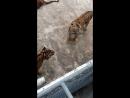 Рыбалка у тигров