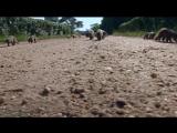 BBC «Полосатые братья: Банда мангустов» (6 серия) (Документальный, природа, животные, 2009)