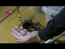 Акантоскурия геникулята Бразильский белоколенный паук птицеед
