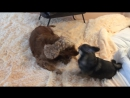 Собачье бои!