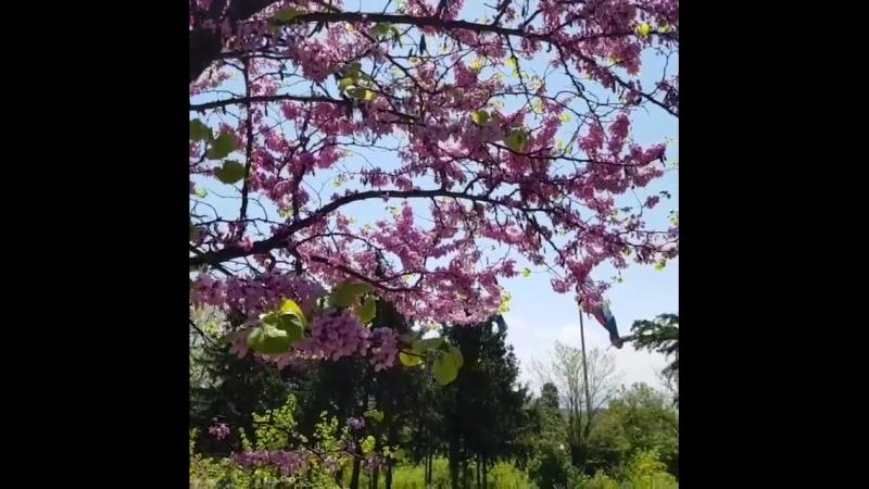 Багрянник красивыецветы Варна Болгария blumen flauers Frühling Spring Varna Bulgaria  teremlux.com недвижимост